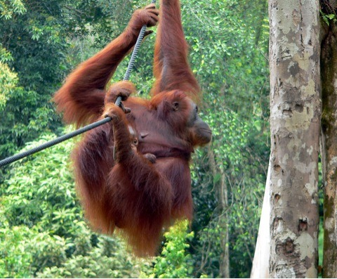 borneo orangutan Saving The Orangutans Of Borneo